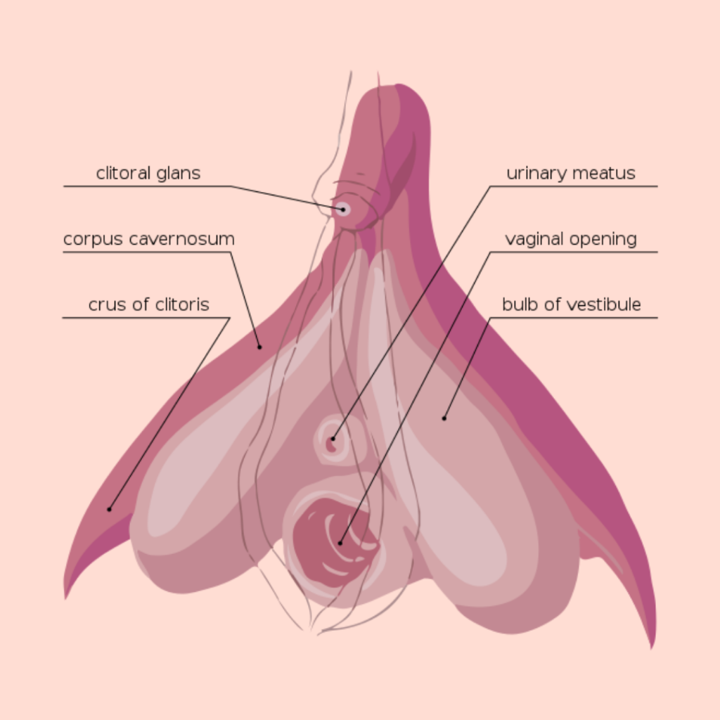 anatomy: drawing of a clitoris